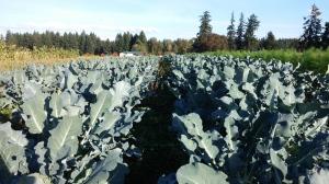 Broccoli in Caldwell Family Farm's field.