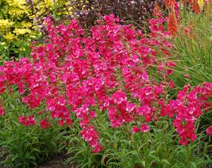 Penstemon from Petal Heads...lots of pollinator plants this week!
