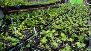 Maggys Farms is back with Certified Naturaly Grown Fall and Winter Veggie Starts..ask farmer Tim how you can pick greens in the cold weather!