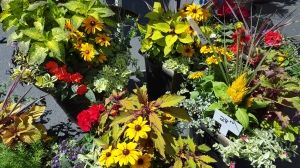 Gorgeous planters available still from S and K Nursery, planted with fall in mind!