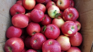 Plenty of Kiyokawa Orchard's Crimson Crisp this Saturday.